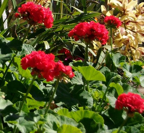 Red-geraniums-work-well-in-edible-gardens